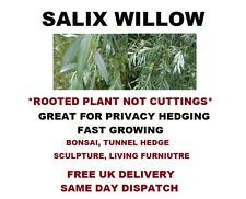 "SALIX WILLOW WHITE ALBA GARDEN SCREEN HEDGING ROOTED 12"" TREE CUTTING #WILLOW"