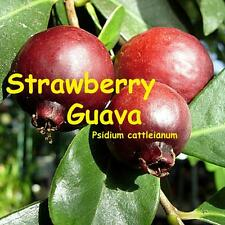 ~STRAWBERRY GUAVA~ TROPICAL FRUIT TREE Prolific yeild Live Potted Starter Plant