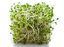 ALFALFA 'Sprouts' 500 seeds Green Manure/ Sprouting (Lucerne) flower garden