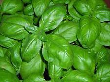 80 semi di Basilico Genovese *** Ocimum basilicum seeds *** semillas