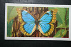 Blue Morpho Morphidae Tropical Butterfly Illustrated Colour Card VGC