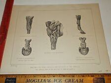 Rare Antique Original VTG 1897 Equestrian Horse Anatomy Foreleg Cowan Art Print