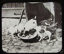 VICTORIAN GWW Glass Magic Lantern Slide FOX TERRIER PUPS C1890 DOGS PUPPY
