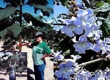 frostharter Blauglockenbaum mit hellblauen Blumenblüten