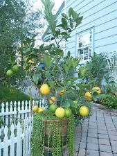6+ Lemon Meyer seeds, New Jersey grown citrus! must see
