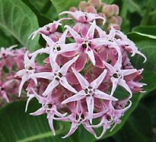 50+ Pink Asclepias Milkweed / Butterfly Weed Flower Seeds / Perennial