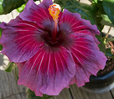 Tropical Hibiscus Seeds - Pinot Noir - Rosa-Sinensis - Rare & Unusual - 10 Seeds
