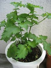 1000 Shiso /Perilla Seeds (Perilla Frutescens) Green beefsteak plant,(OG)Organic
