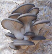 Pleurotus columbinus ( blue oyster) mushroom liquid culture 12cc