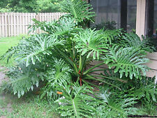 Tree Philodendron (Philodendron bipinnatifidum)10 seeds