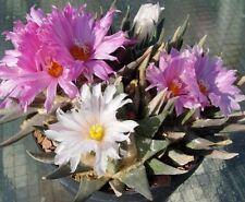 LIVING ROCK CACTUS (Ariocarpus confusus) 10 seeds