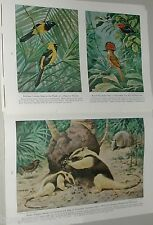 1945 magazine article Central American WILDLIFE, birds, color art