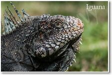 Iguana - NEW Animal Wildlife POSTER