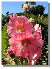ROSE 11 FT TALL  50+ GIANT DANISH HOLLYHOCK  FLOWER SEEDS