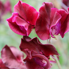 Kings Seeds - Sweet Pea, Windsor - 20 Seeds