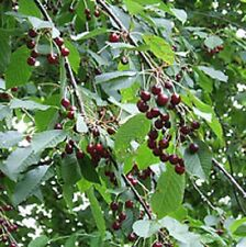 Prunus avium SWEET CHERRY❋15 SEEDS❋Sweet Fruits❋Ornamental Flowering Tree❋Pies