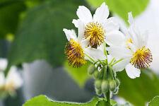 Die Zimmerlinde - eine Zimmerpflanze aus Grossmutters Zeiten !