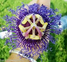 "Passion Flower Purple Maypop/Passiflora Incarnata Vine  ""Passion Of The Christ"""