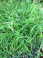 LEMON GRASS  - MOSQUITO GRASS - HERB - 24 PLUGS - LIVE PLANTS