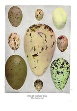 "1936 Vintage FUERTES BIRD EGGS #1 ""LOON AUK TERN, GULL"" Color Birds Lithograph"