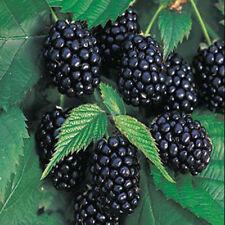 Triple Crown Blackberry - 100 Seeds - Giant Thornless Blackberries Black Berries