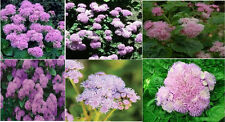 PINK AGERATUM FLOWER 50 SEEDS FLAT RATE S/H OF $1.99 UNLIMITED SEED PACKS