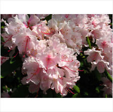 10 PINK ROYAL AZALEA Rhododendron Schlippenbachii Bush Shrub Flower Seeds