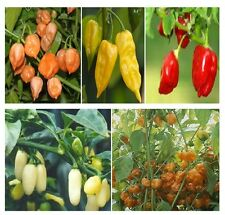 250 Seeds Habanero Pepper Seed Mix HOT!!