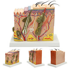 50:1 Human Anatomical Skin Subcutaneous Tissue Dissection Medical Teach Model