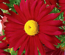PYRETHRUM RED Chrysanthemum Coccineum - 1,000 Bulk Seeds
