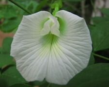 WHITE BUTTERFLY PEA (CLITORIA TERNATEA) 10+ SEEDS,VERY VERY RARE..