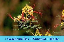 SAFLAX Geschenk Set - Winterharter Pfauenstrauch - Caesalpinia - 10 Samen