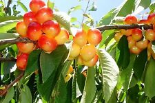 20* RAINIER CHERRY TREE ** SEEDS ** FLOWERING FRUIT TREES LIVE PLANTS SEEDLINGS