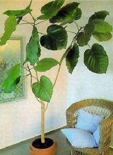 Ficus auriculata Stecklinge / Zimmerpalme Zimmerbaum Büropflanze groß immergrün
