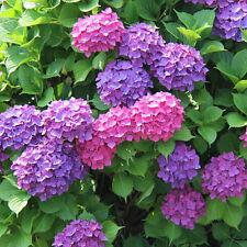 20pcs Hydrangea Seeds Butterflies Love Garden Decor Free Shipping