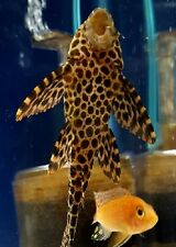 Live Tropical Fish, 3 Wild Caught Colombian Spotted Pleco's L165, FREE SHIPPING!