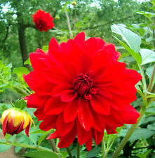 Garden Dahlia Seed 30 Seeds Dahlia Pinbata Pompon Beautiful Flower Seed Hot A248