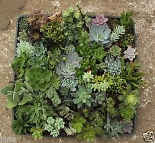 LOT 9 MISC SUCCULENT COLLECTION  SPRING SPECIMENS