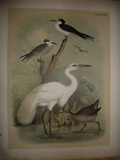 1881 ~ GREAT WHITE HERON ~  THEODORE JASPER ~ ORIGINAL LITHOGRAPH