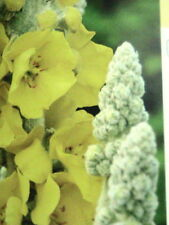 20 Flannel Mullein Seeds NATIVE WOODLAND HERBAL REMEDY