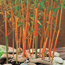 "40 Seeds Rare ""Red Fountain"" Medicinal Plant Hardy Perennial Red Stem Bamboo"