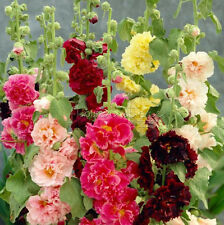 20 Mixed HOLLYHOCK Rosea Seeds Perennial Flower Very Beautiful TT237