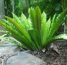 BIRD NEST FERN Asplenium australasicum tropical plant in 125mm pot