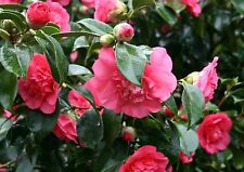 JAPANESE CAMELLIA * C. japonica * FLOWERING SHRUB OR SMALL TREE * EASY * SEED