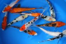 10 pack of 3 inch Standard fin Koi Live for fish tank, koi pond or aquarium