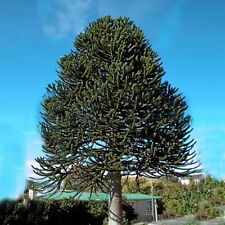 25-30CM ARAUCARIA ARAUCANA MONKEY PUZZLE TREE IN A 13CM POT STRONG HEALTHY PLANT