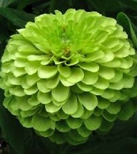 "50+ HEIRLOOM ZINNIA SEEDS - ZINNIA ELGANS - ""GREEN ENVY""  HUGE  GREEN FLOWERS!"