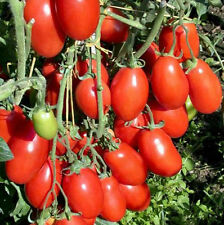 Tomato San Marzano 50 Fresh Heirloom Seeds Super Yummy! Free Ship