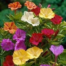 25+ MIRABILIS FOUR O CLOCK FLOWER SEEDS MIX / SELF-SEEDING /MORNING GLORY