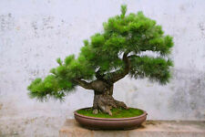 Plata Europea abeto - 40 Bonsai Semillas-Abies alba Tree-SOW todo el año
